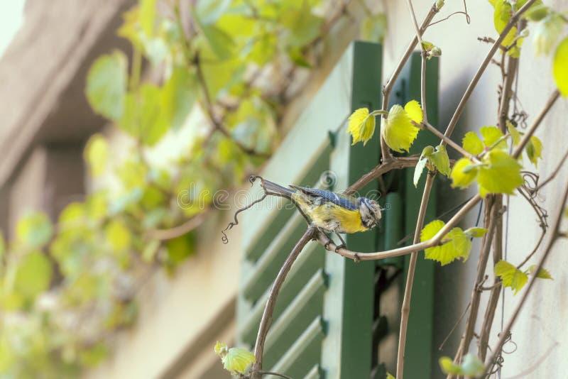 Oiseaux de mésanges bleues sur une branche de vigne photographie stock libre de droits