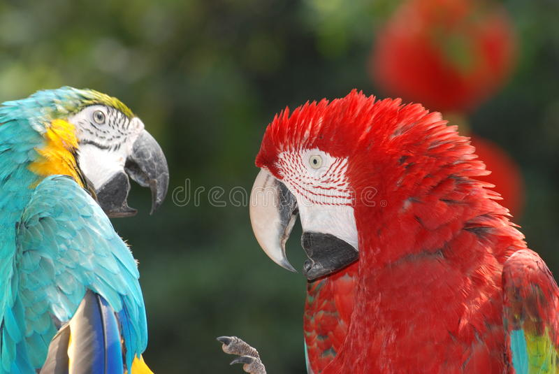 Oiseaux de Macaw photo stock
