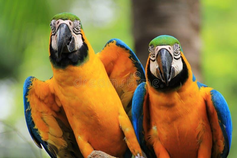 Oiseaux de Macaw [ararauna d'Ara] photographie stock