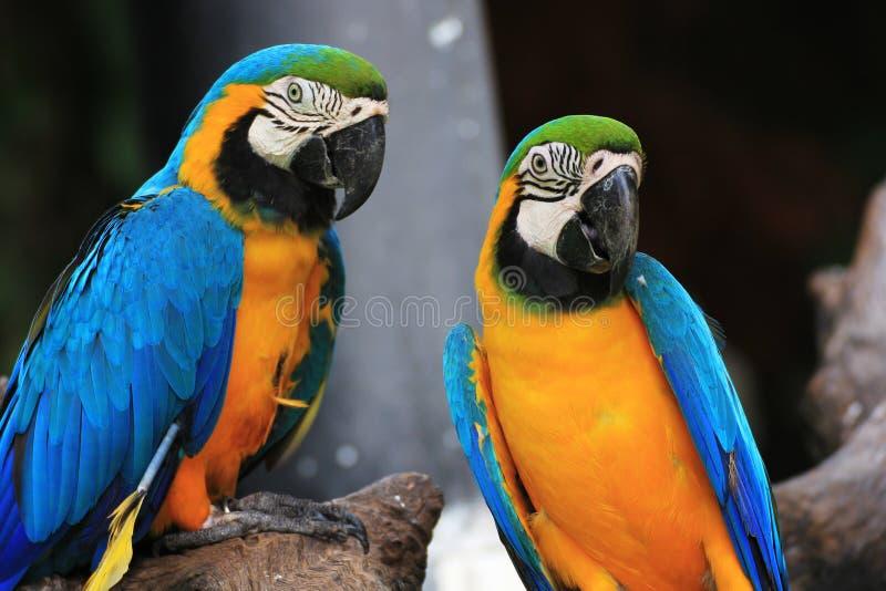 Oiseaux de Macaw [ararauna d'Ara] image stock