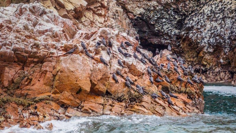 Oiseaux de mer en ?le de Ballestas dans la c?te de Paracas au P?rou image libre de droits