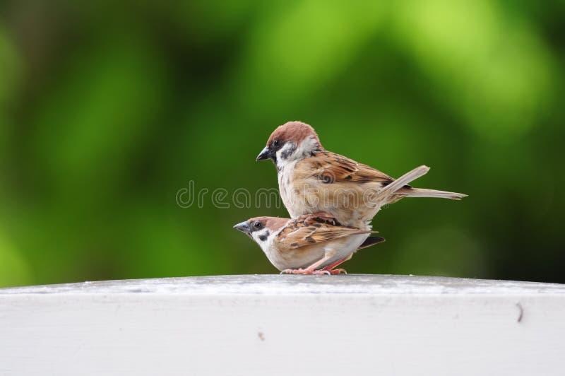 Oiseaux de moineau photos libres de droits