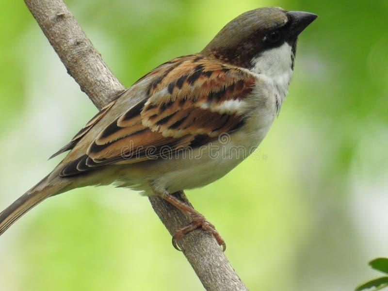 Oiseaux de moineau, oiseaux du Bangladesh photographie stock