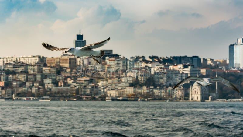 Oiseaux de mouette volant au-dessus de la mer images libres de droits
