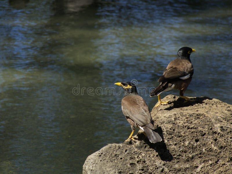 Oiseaux de Mynah images libres de droits