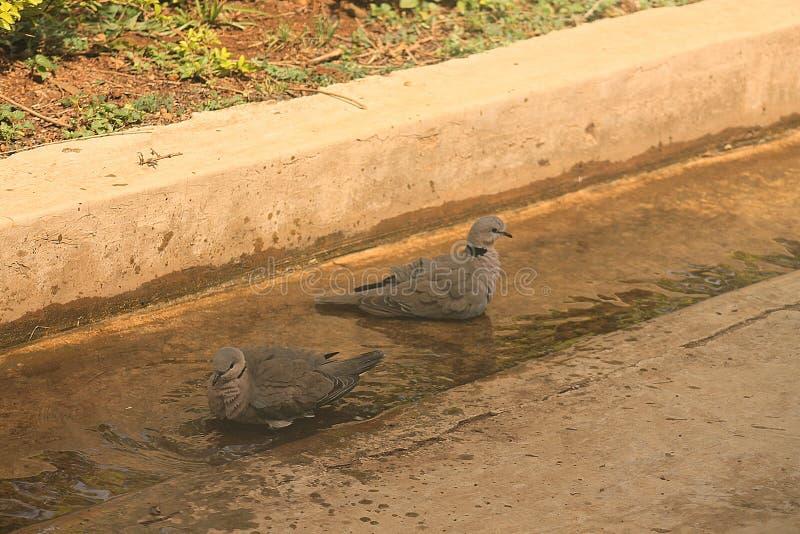 Oiseaux de pigeon sur l'eau photographie stock libre de droits