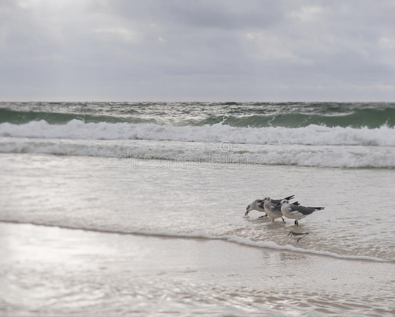 Oiseaux de plage et ressac se brisant image libre de droits
