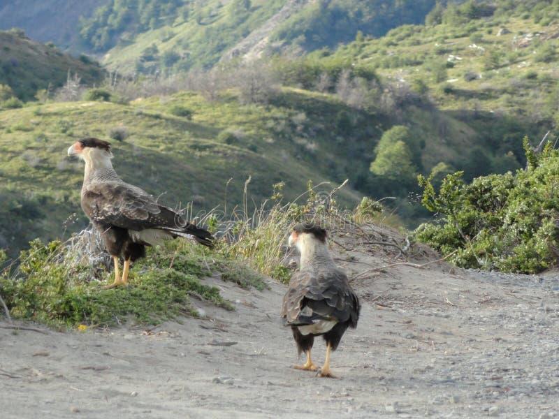 Oiseaux de proie images libres de droits
