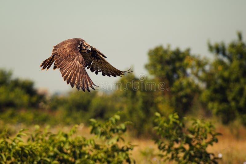 Oiseaux de proie - cherrug de Falco de faucon de Saker en vol images libres de droits