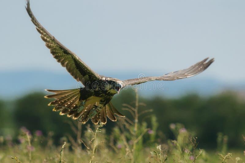 Oiseaux de proie - cherrug de Falco de faucon de Saker en vol photos libres de droits