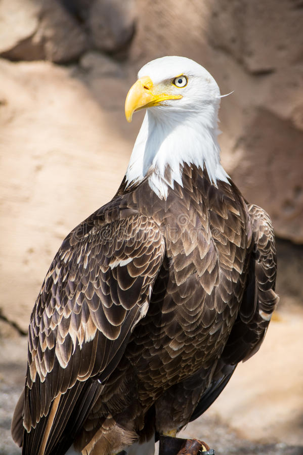 Oiseaux de proie - Eagle chauve images stock