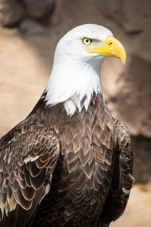 Oiseaux de proie - Eagle chauve photographie stock libre de droits