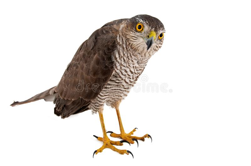 Oiseaux de proie - femelle de nisus d'Accipiter de Sparrowhawk d'Eurasien D'isolement sur le blanc photographie stock