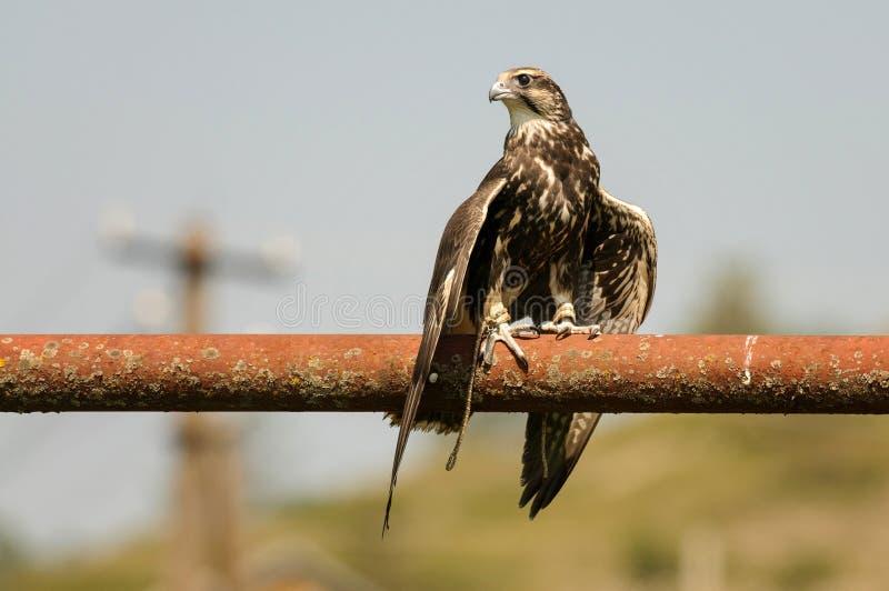 Oiseaux de proie - le cherrug de Falco de faucon de Saker se tient sur le tube avec les ailes répandues photos libres de droits