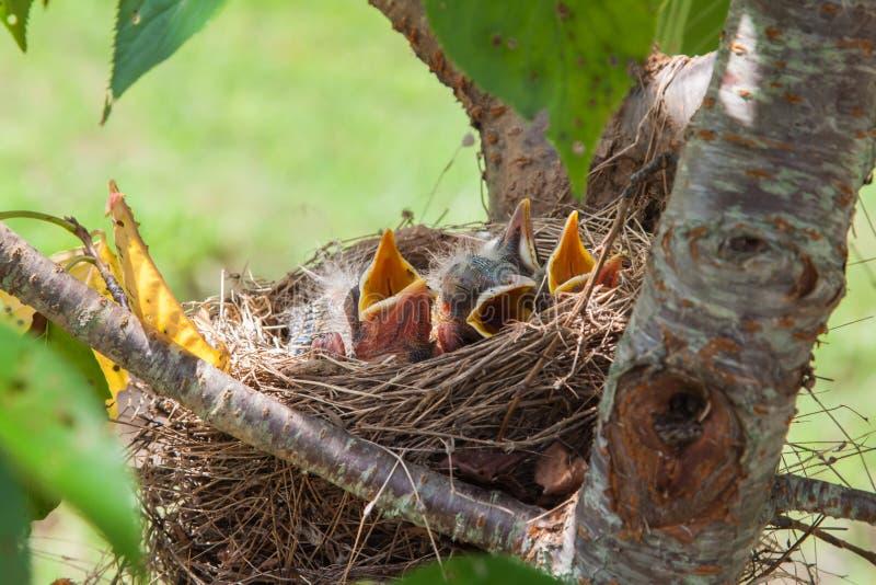 Oiseaux de Robin de bébé images libres de droits
