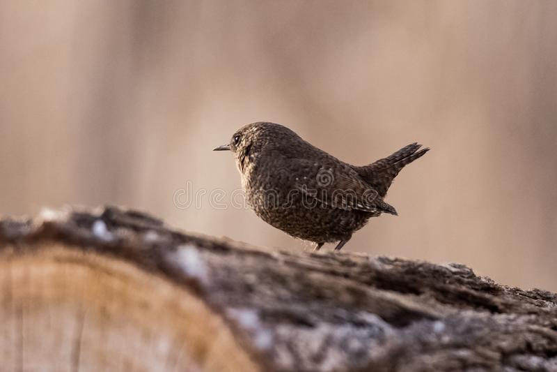 Oiseaux de roitelet la photo son nez dessus image libre de droits