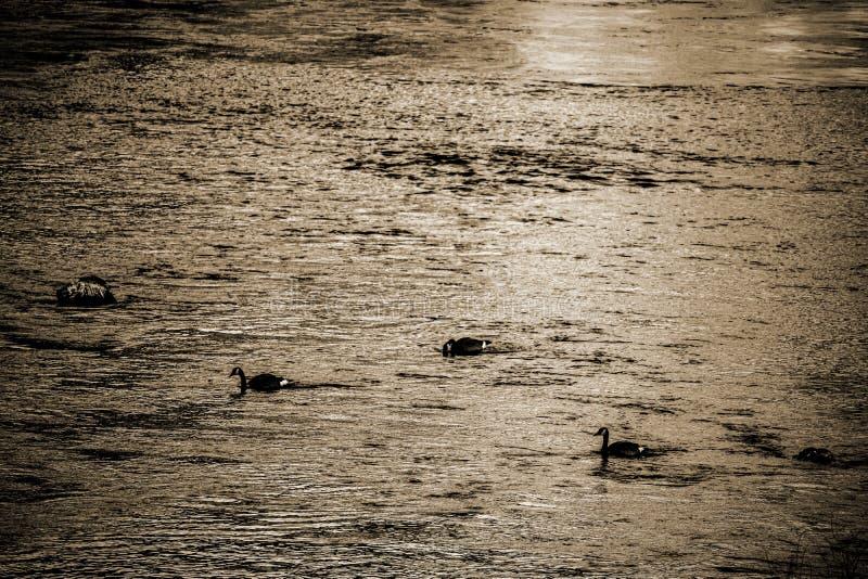 Oiseaux de sépia dans l'eau images libres de droits