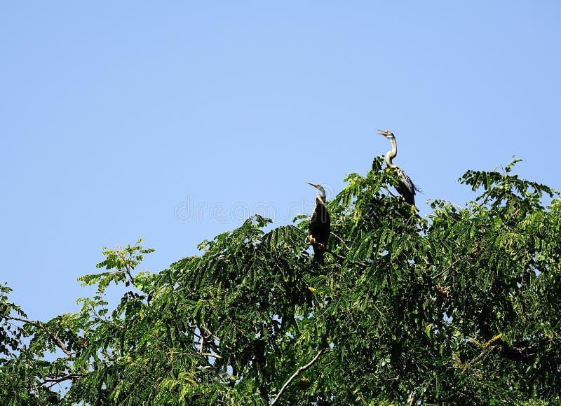 Oiseaux de serpent dans les arbres photographie stock libre de droits