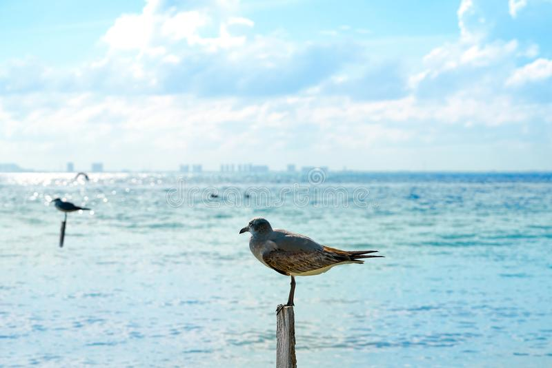 Oiseaux des Caraïbes de plage d'île d'Isla Mujeres photo stock