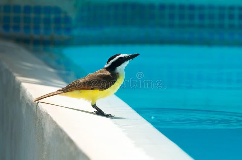 Oiseaux du Nicaragua images stock