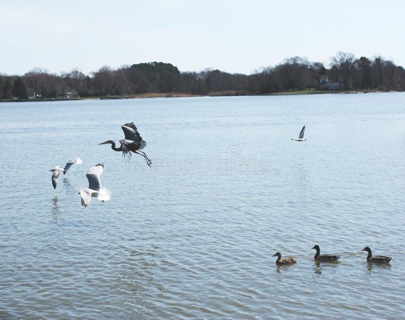 Oiseaux effectuant le vol photos libres de droits