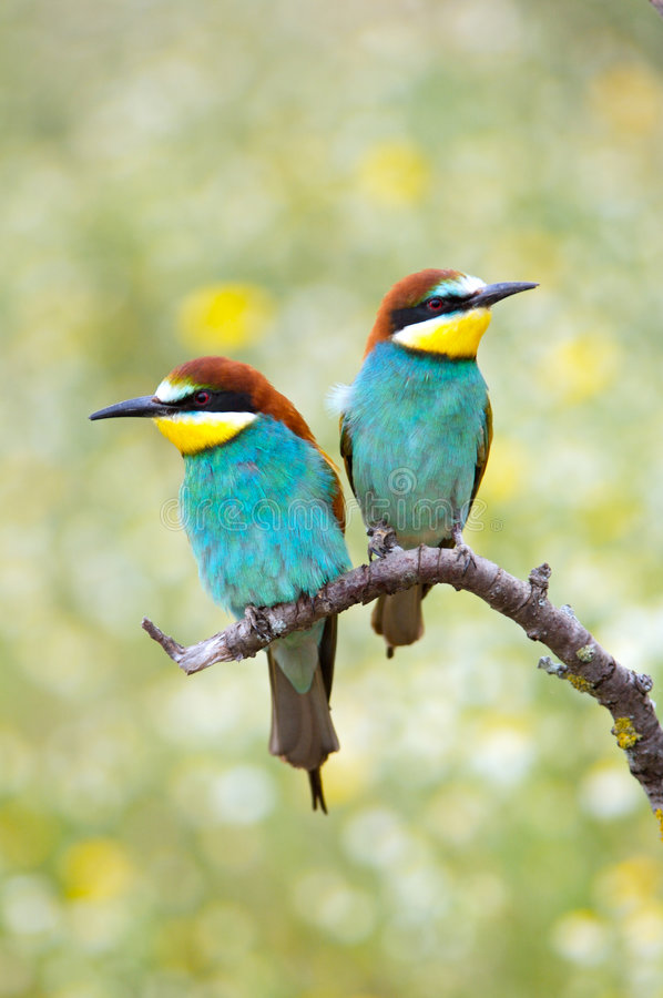 Oiseaux enamourés