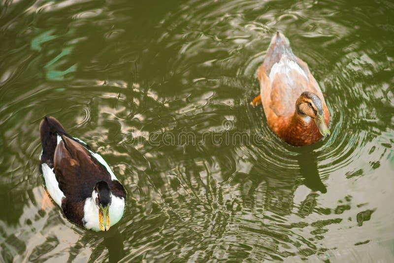 Oiseaux et animaux dans la faune Le canard étonnant de canard nage en lac ou rivière avec de l'eau bleu sous le paysage de lumièr photographie stock libre de droits