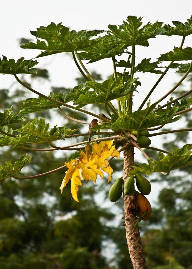 Oiseaux et Gecko sur le papayer photos stock