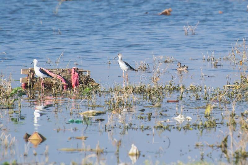 Oiseaux et la pollution de marécage en Inde photos libres de droits