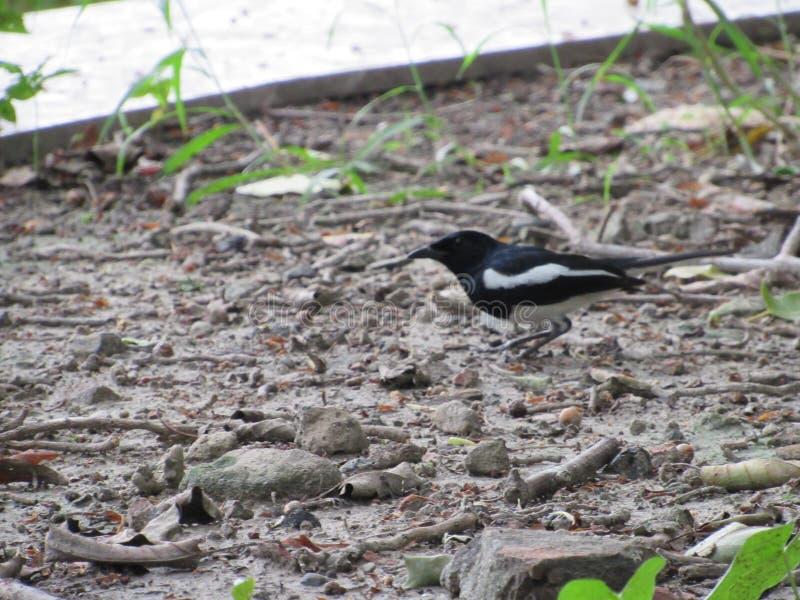 Oiseaux indiens noirs et blancs recherchant la nourriture au sol au parc naturel photo libre de droits