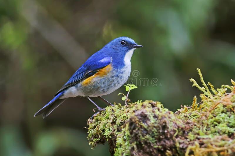 Oiseaux masculins de rufilatus de l'Himalaya de Bluetail Tarsiger de la Thaïlande photo stock