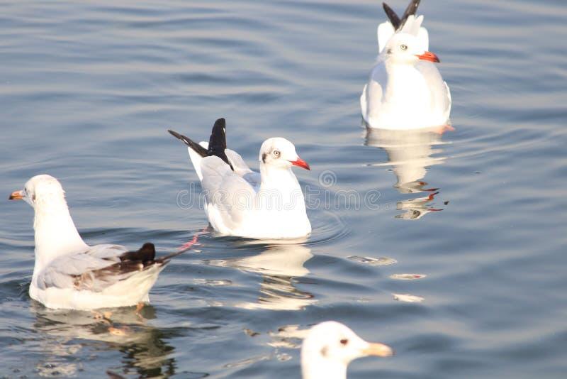 Oiseaux migrateurs dans le lac photographie stock