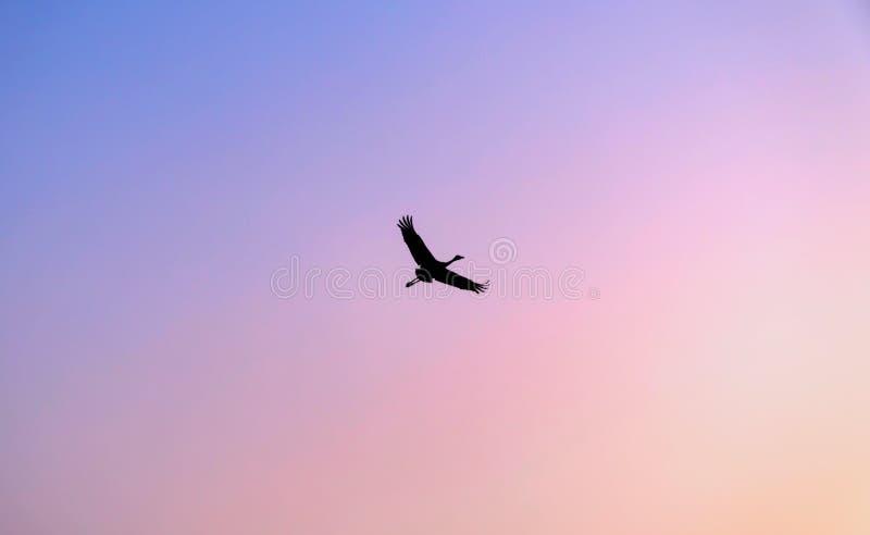 Oiseaux migrateurs Grue pilotant l'ONU le ciel Copiez l'espace pour le texte autour de l'oiseau photos libres de droits