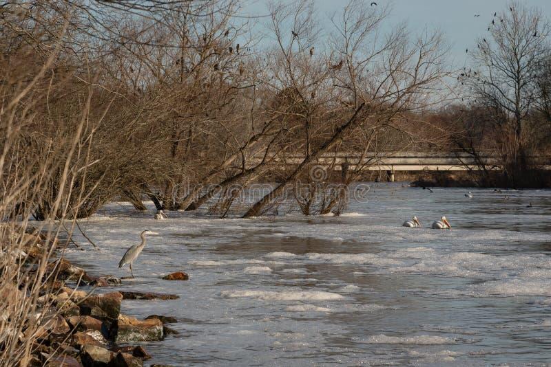 Oiseaux migrateurs le long de rivière en hiver photo stock