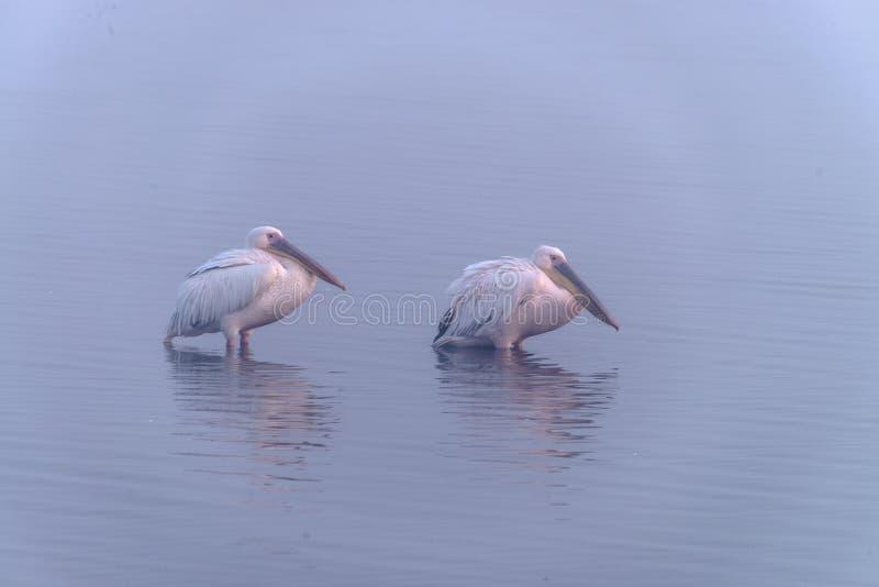 Oiseaux migrateurs Les pélicans se tiennent dans une eau images stock