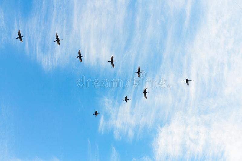 Oiseaux migrateurs volant sous forme de v sur le ciel nuageux de coucher du soleil photos stock