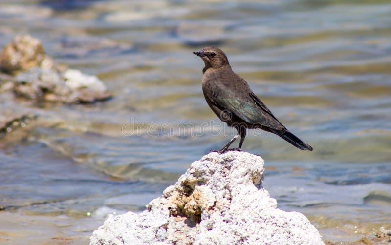 Oiseaux mono de lac photographie stock