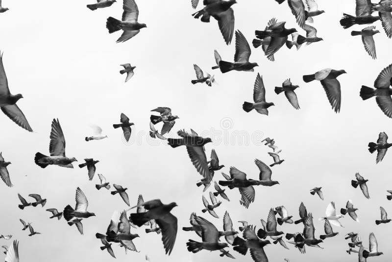 Oiseaux noirs et blancs de pigeons des masses volant dans le ciel photo stock