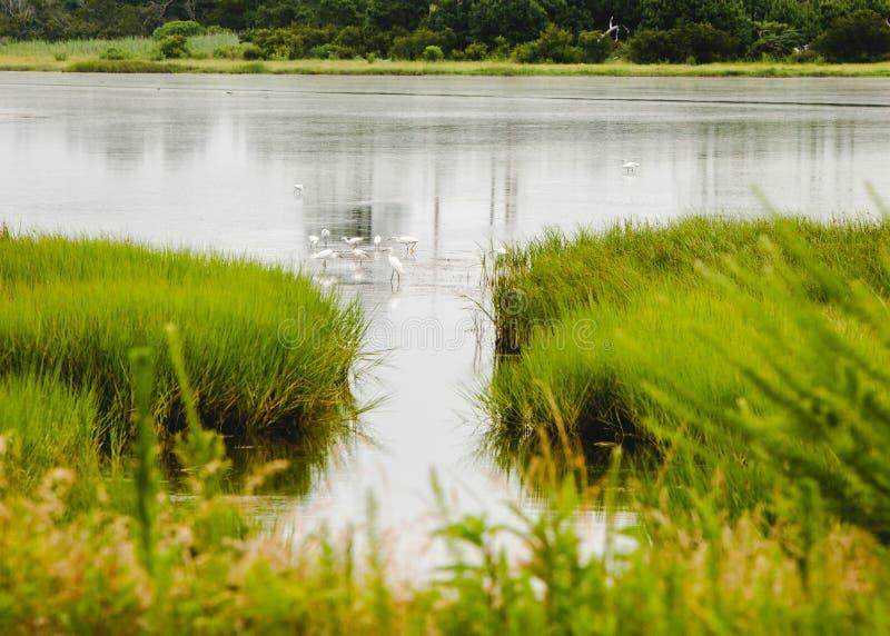 Oiseaux pataugeant dans l'étang photographie stock