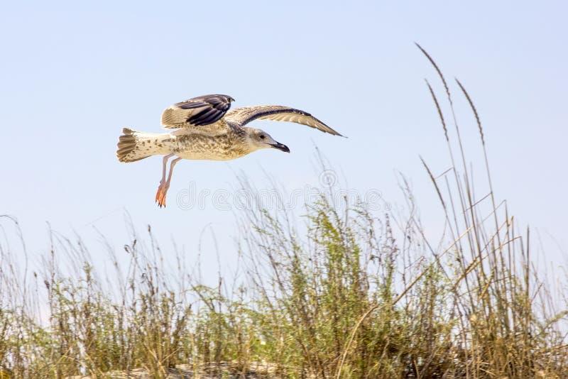 Oiseaux sauvages sur la plage roumaine photographie stock libre de droits