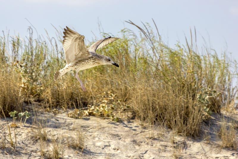 Oiseaux sauvages sur la plage roumaine images stock
