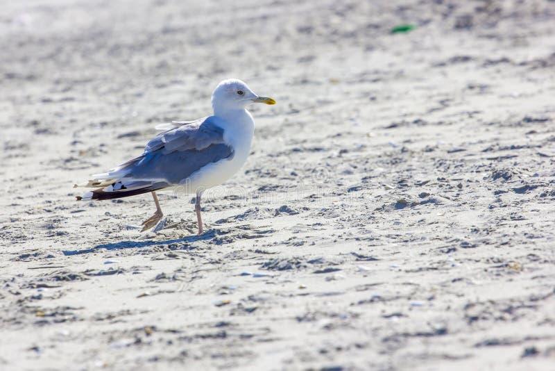 Oiseaux sauvages sur la plage roumaine image libre de droits