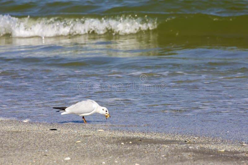 Oiseaux sauvages sur la plage roumaine images libres de droits