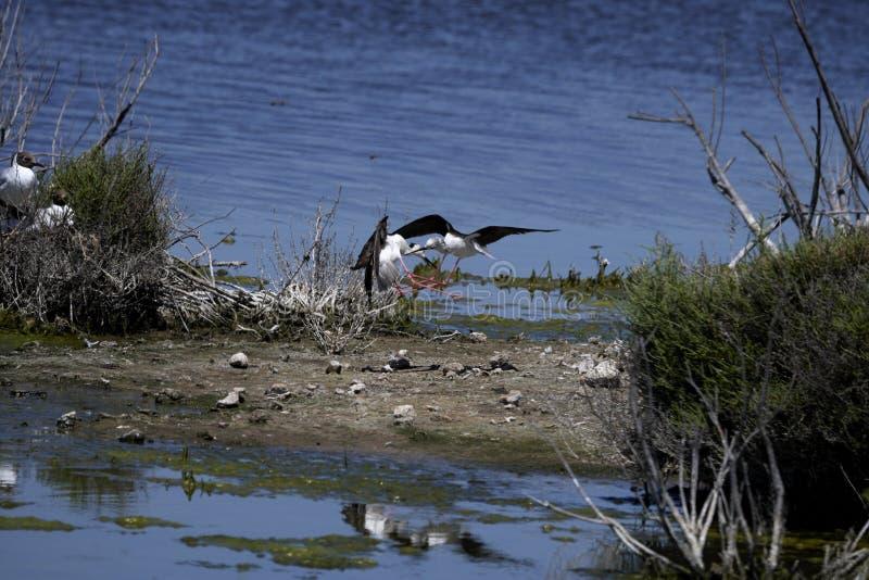 Oiseaux se battant dans un lac photographie stock libre de droits
