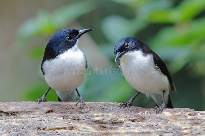 oiseaux soutenus par foncé de melanoleuca de Sibia Heterophasia de la Thaïlande photographie stock