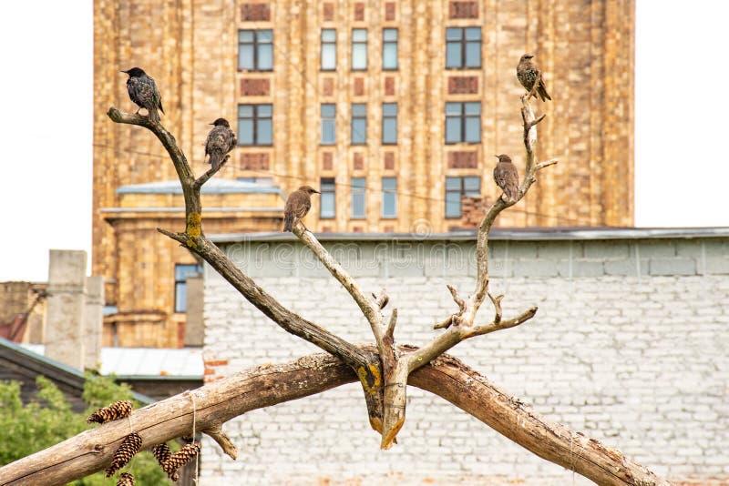 Oiseaux sur des branches sous forme de klaxons de cerfs communs avec l'académie letton de la construction des sciences image libre de droits