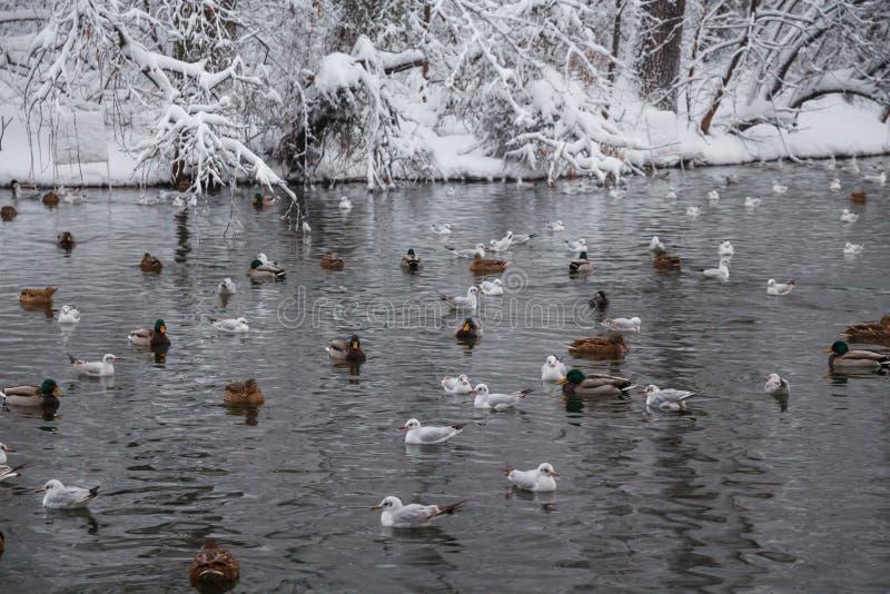 Oiseaux sur le lac photos stock