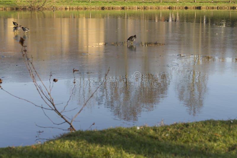 Oiseaux sur le lac congelé photos stock