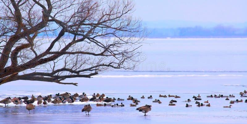 Oiseaux sur le panorama de glace photo stock