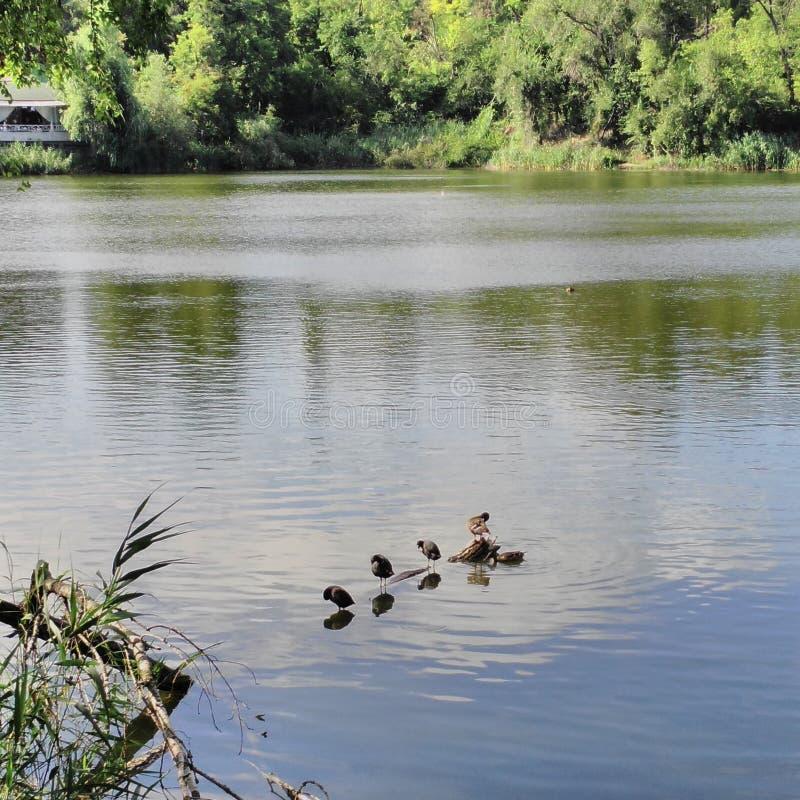 Oiseaux sur le rondin de l'eau photos stock